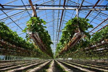 hydroponic strawberry garden